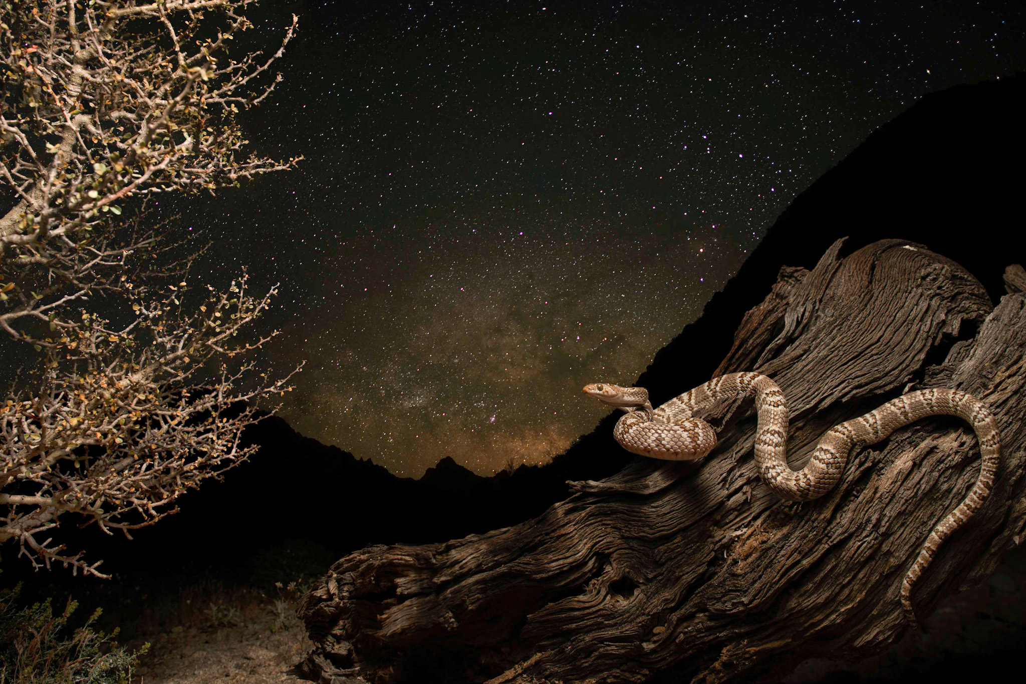 Photo by Scott Trageser     Lyre snake with stars. Composite photo of three images taken on tripod with the intention of accurately representing the scene.