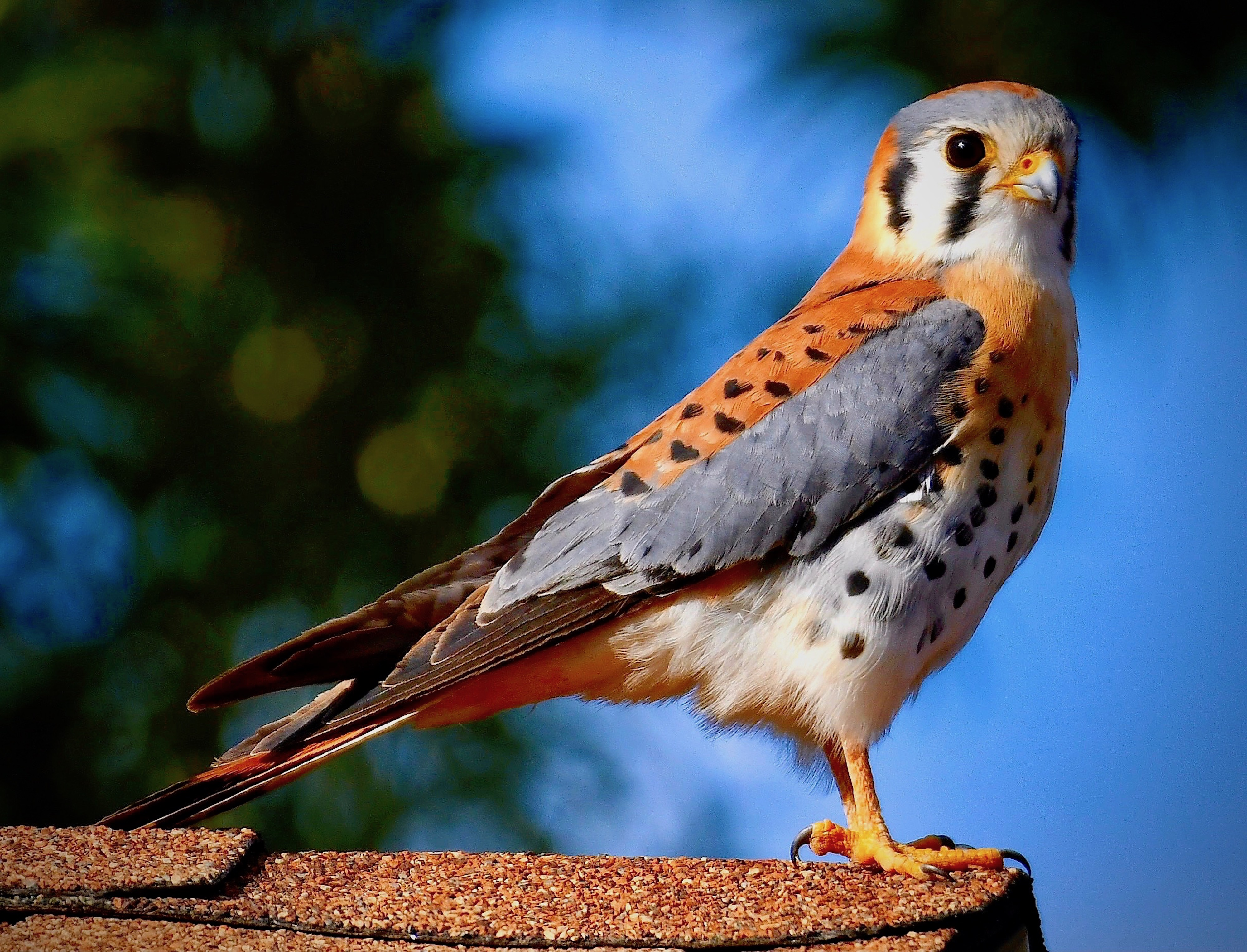 Photo by Mark Koster     A Handsome male American Kestrel posing for me on the roof of a home in the heart of Scottsdale !