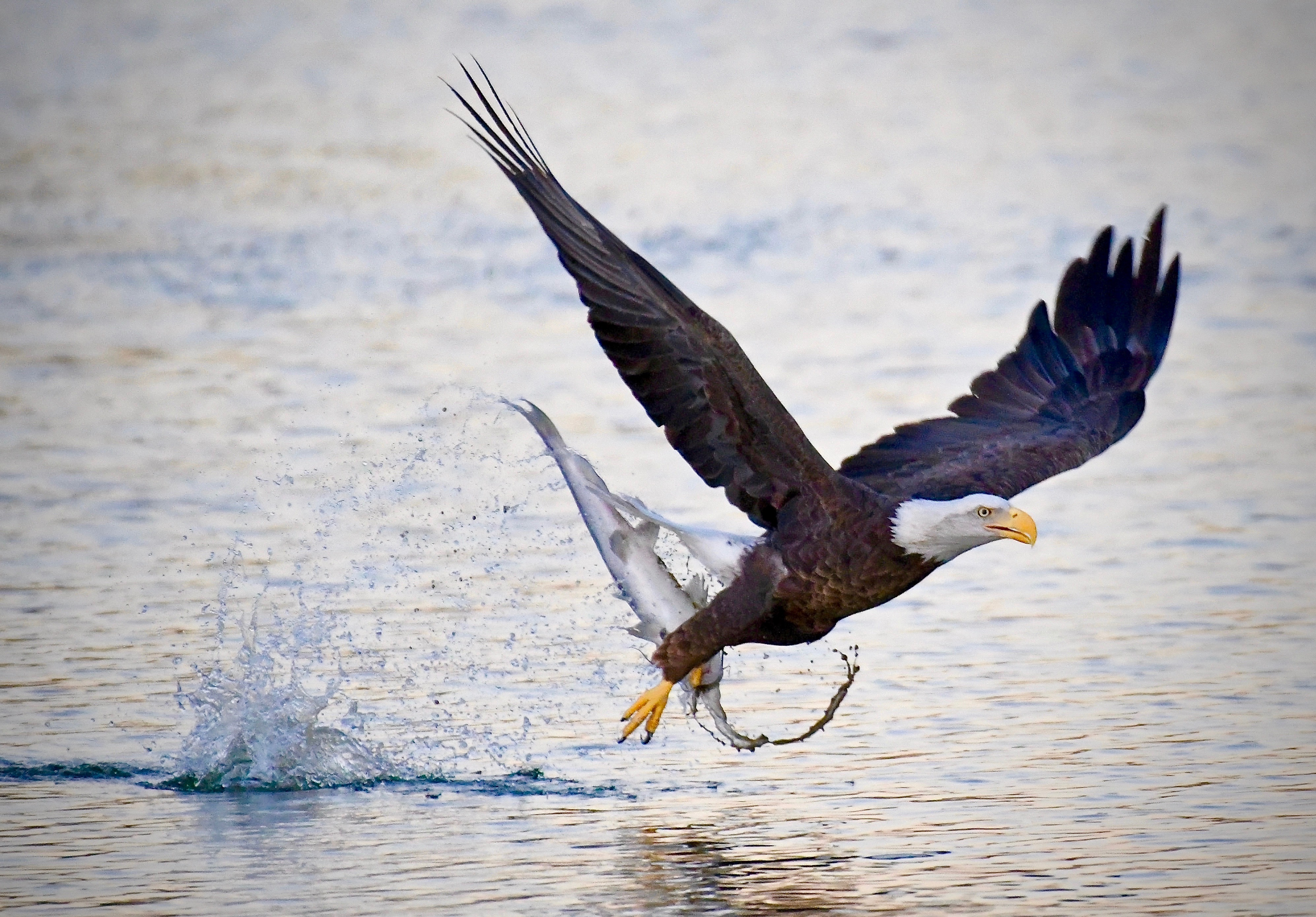 """Photo by Mark Koster     6 minutes before the """"Official"""" Sunrise one of Scottsdale's local Bald Eagles Snagged this Humongous catfish from Chaparral Lake !"""
