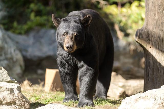 Black bear by Eric Kilby, via Flickr