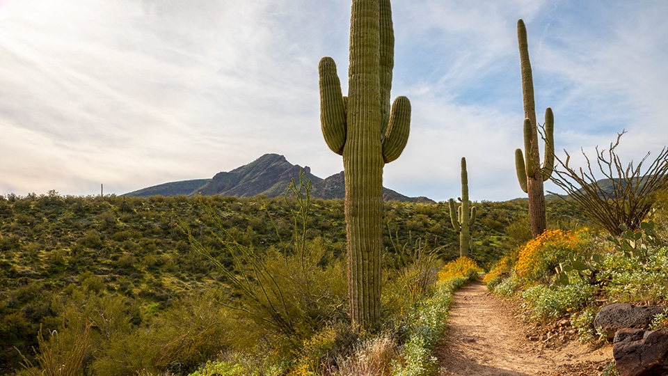 Mature saguaros and brittlebushes line the Spur Cross-Dragonfly Loop. | Rebecca Wilks