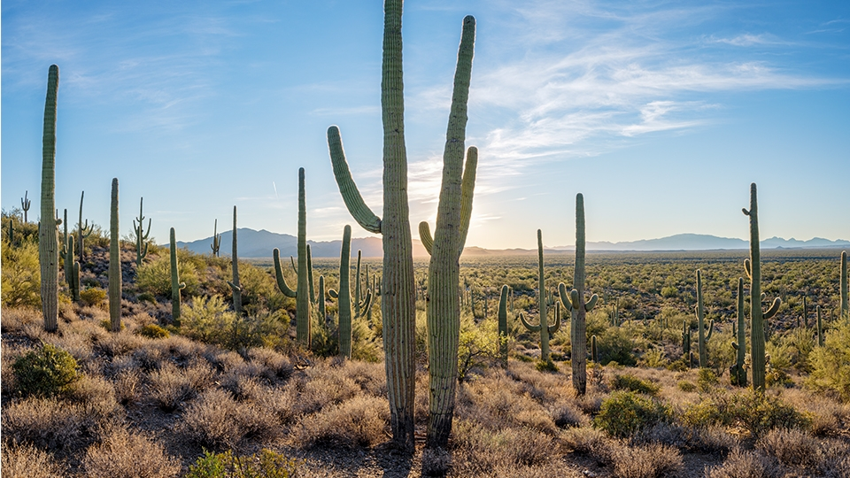 Tall saguaros guard the desert landscape along Freeman Road.   Jack Dykinga