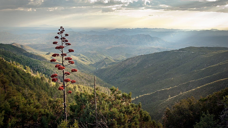An agave bloom punctuates the view to the south from the road up Pinal Peak. | Nick Berezenko