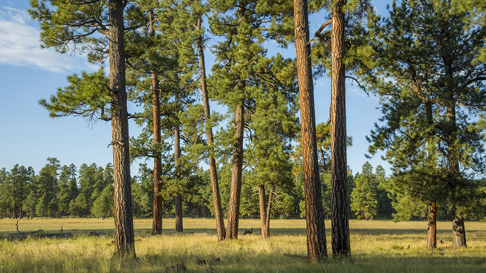 Mature ponderosa pines line one of several clearings along Forest Road 700. | Tom Bean
