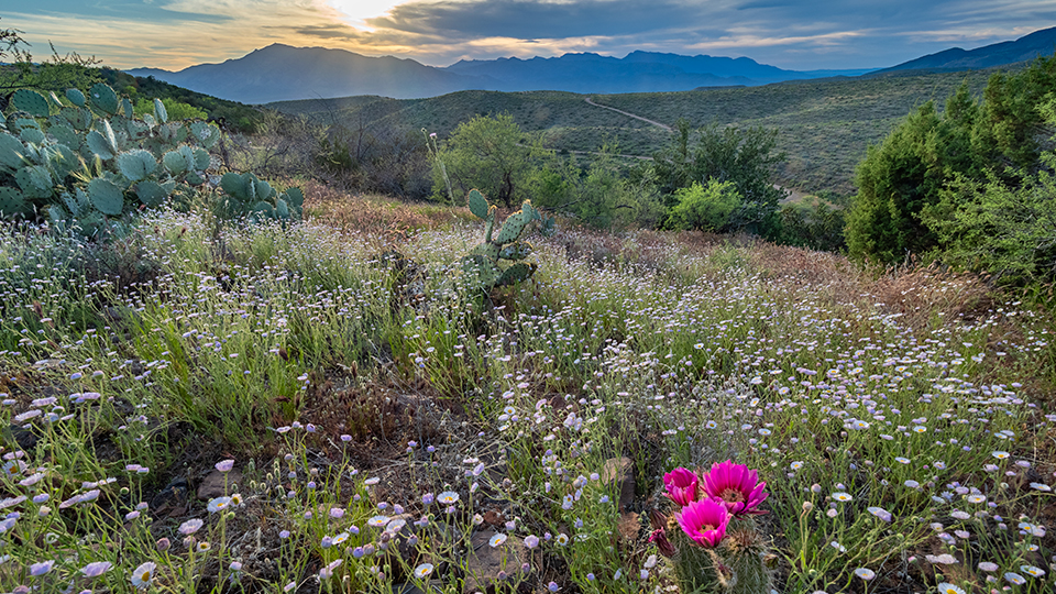 With Mount Ord in the distance, Greenback Valley Road winds past wildflowers, prickly pear cactuses and a blooming hedgehog cactus at sunset. | Paul Gill