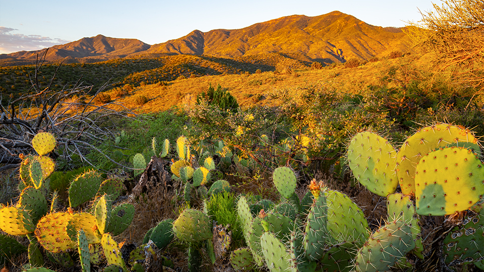Sunrise illuminates the Black Hills and prickly pear cactuses along the Black Canyon Trail. | Joel Hazelton
