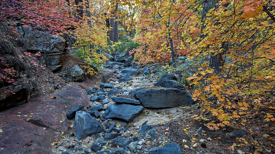 Maples sporting their fall colors line  a boulder-strewn wash along the Bear Sign Trail.