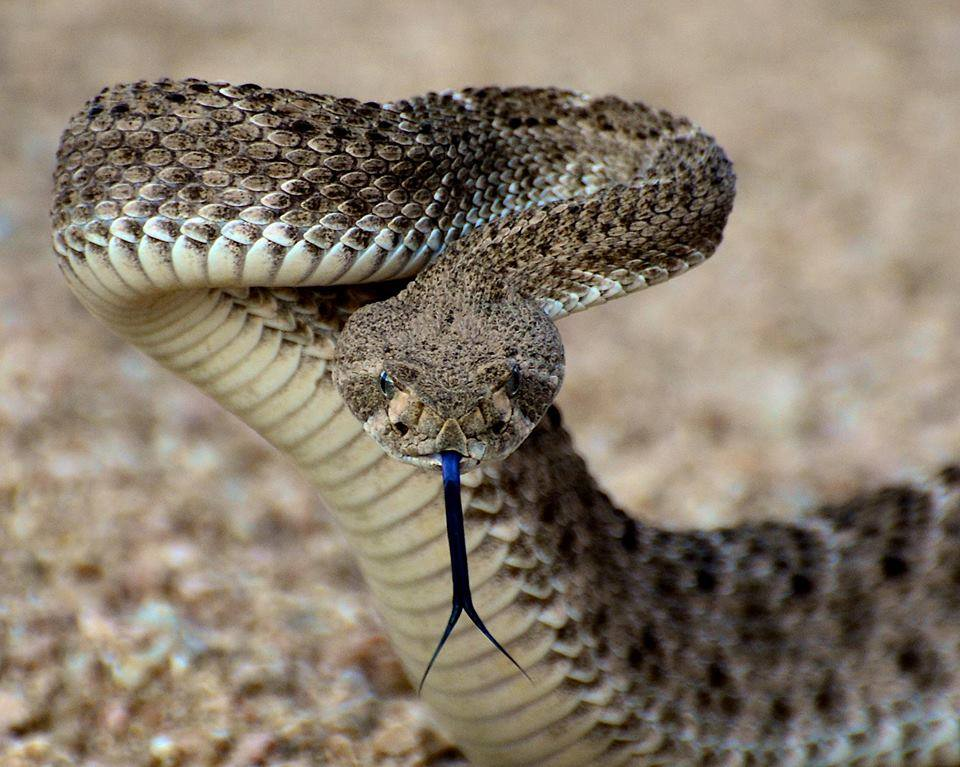 Rattlesnake at Theodore Roosevelt Lake, by Jerry Clifton