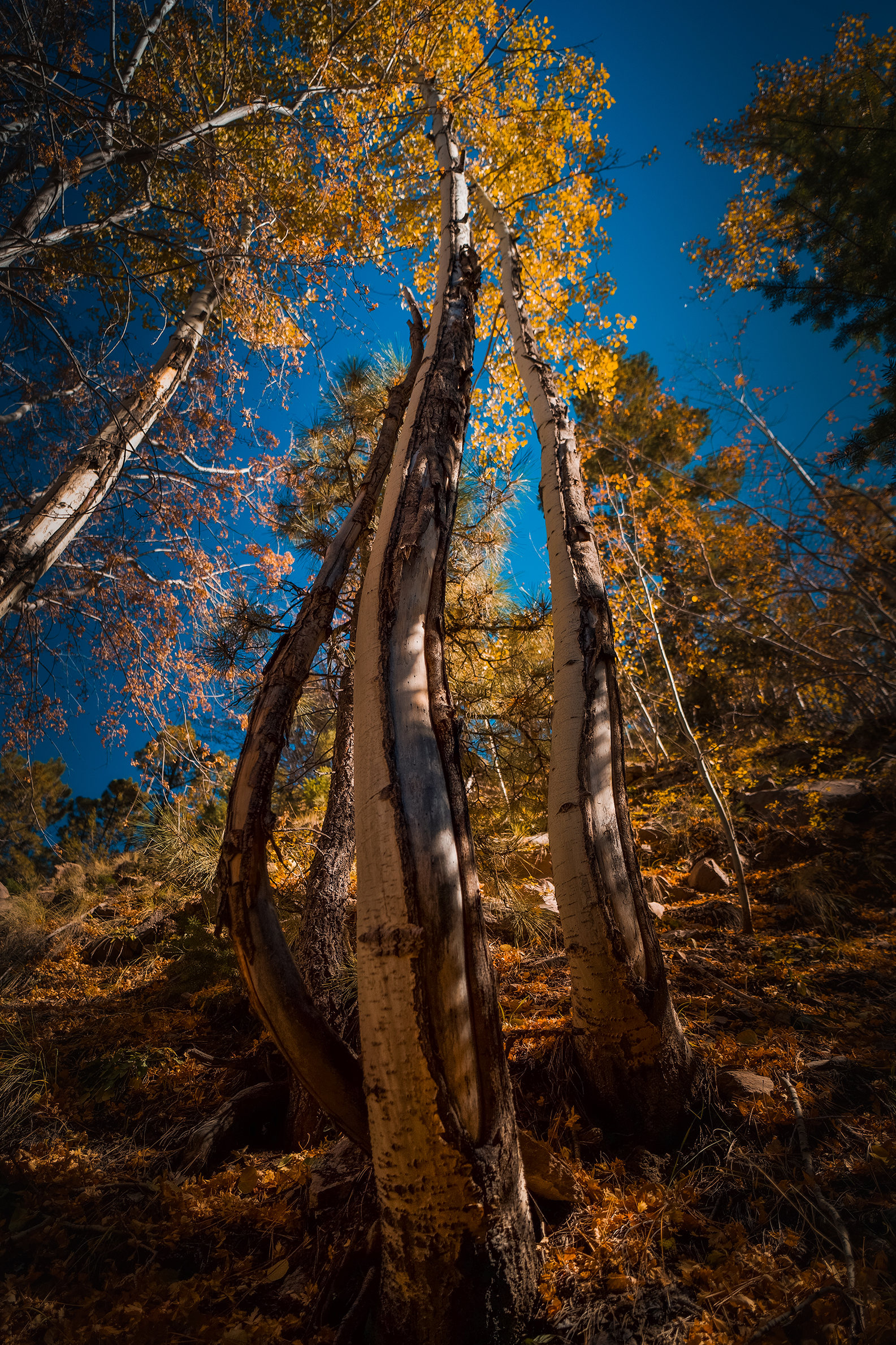 Photo by Alexander Miller     A cluster of curvy aspen trees in Flagstaff.